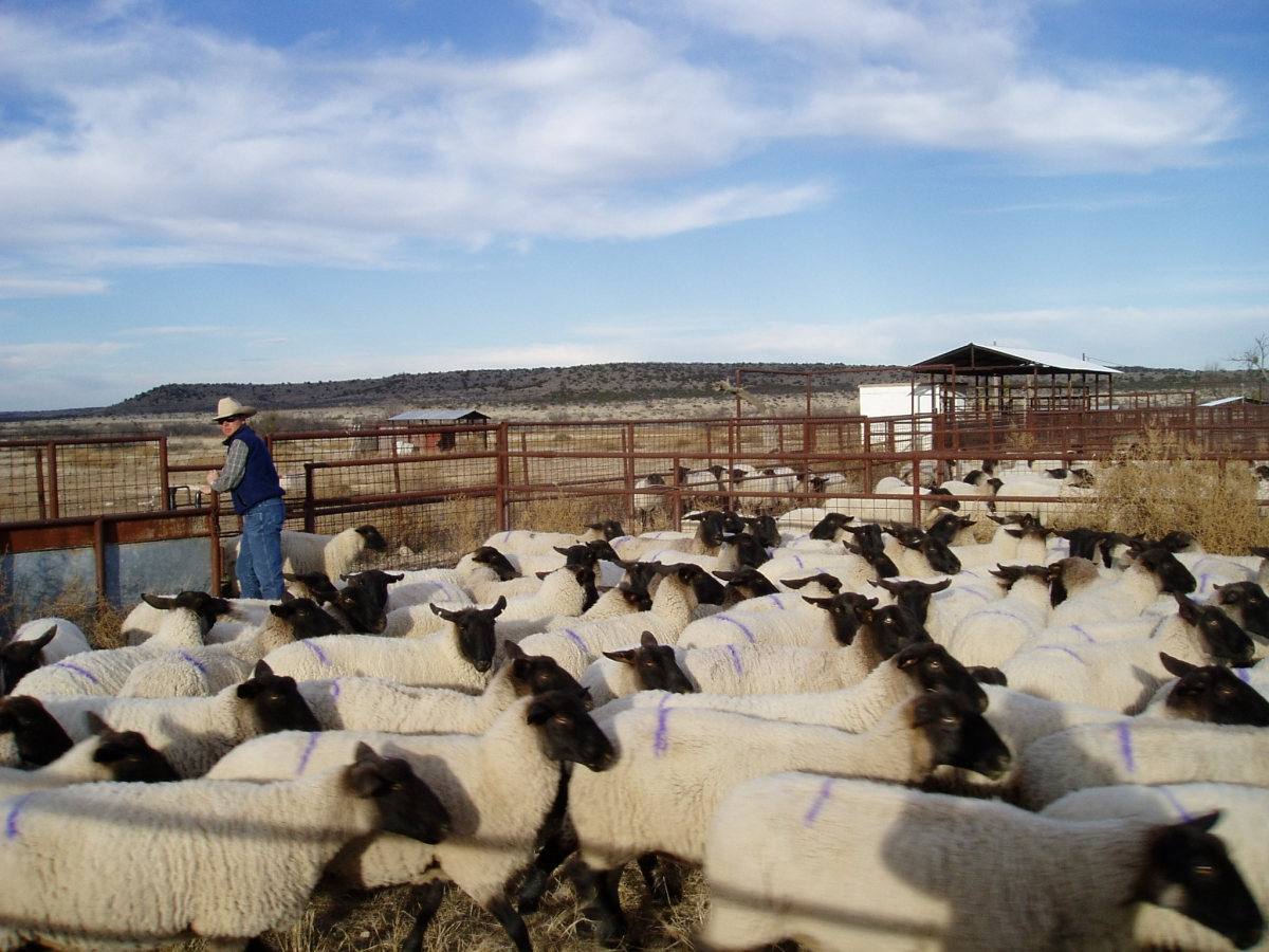 Cargile Sheep Herd :: Cargile Ranches - San Angelo, Texas