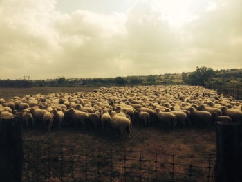 WF Ewes penned 2015
